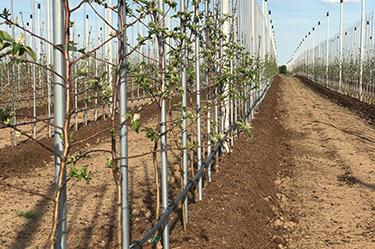 Neue Apfelbäume - SweeTango