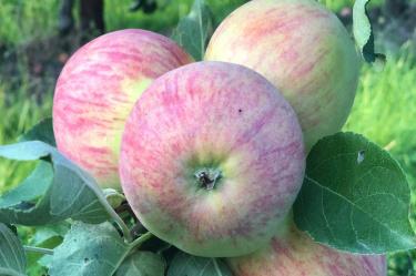Apfel, Äpfel, Sommeräpfel, Frühäpfel