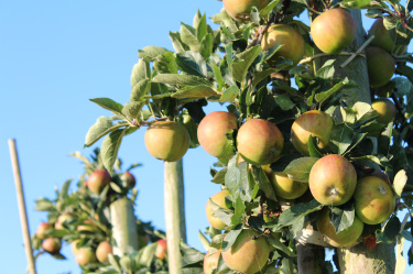 Apfel, Äpfel, Apfelernte, Altes Land