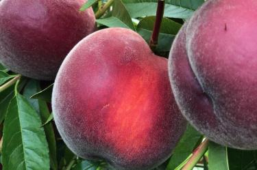 Pfirsich, Pfirsiche, Peach, Altes Land
