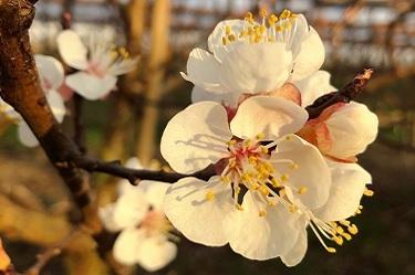 Obstblüte, Aprikosenblüte, Aprikosen blühen, Blüte, Blüten
