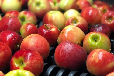 Äpfel, Apfel, aud der Sortiermaschine