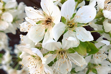 Pflaumenblüte, Japanische Pflaumen, blühen, Blüte, Obstblüte