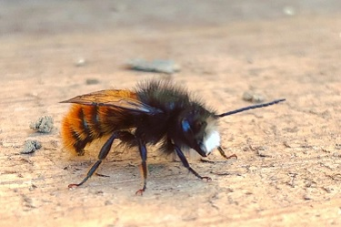 Biene, Wildbiene, Bienen, Wildbienen, Insekt, Insekten
